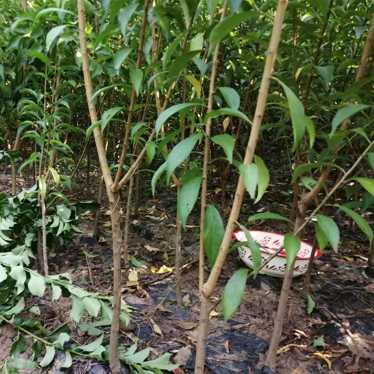蜂糖李树,早熟蜂糖李子苗,贵州蜂糖李子苗佳种植时间