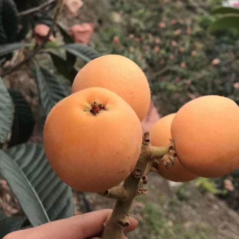 泸州枇杷种苗,泸州枇杷种苗2020报价