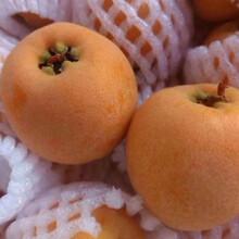 宜宾枇杷苗品种纯正,宜宾枇杷苗发展建议图片