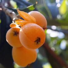云南西双版纳大五星枇杷树苗,枇杷种苗批发和价格图片