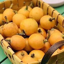 枇杷树,大五星枇杷果苗,广安大五星枇杷树苗价格及报价图片