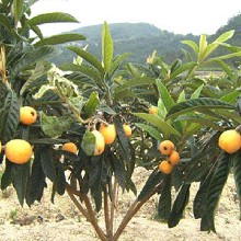 枇杷树,大五星枇杷果苗,荣昌枇杷幼苗味道巴适图片