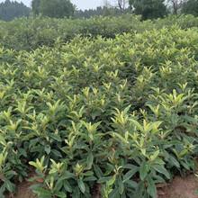 枇杷树,大五星枇杷果苗,梧州枇杷幼苗质量有保证图片