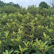 枇杷树,大五星枇杷果苗,来宾枇杷树苗当年挂果图片