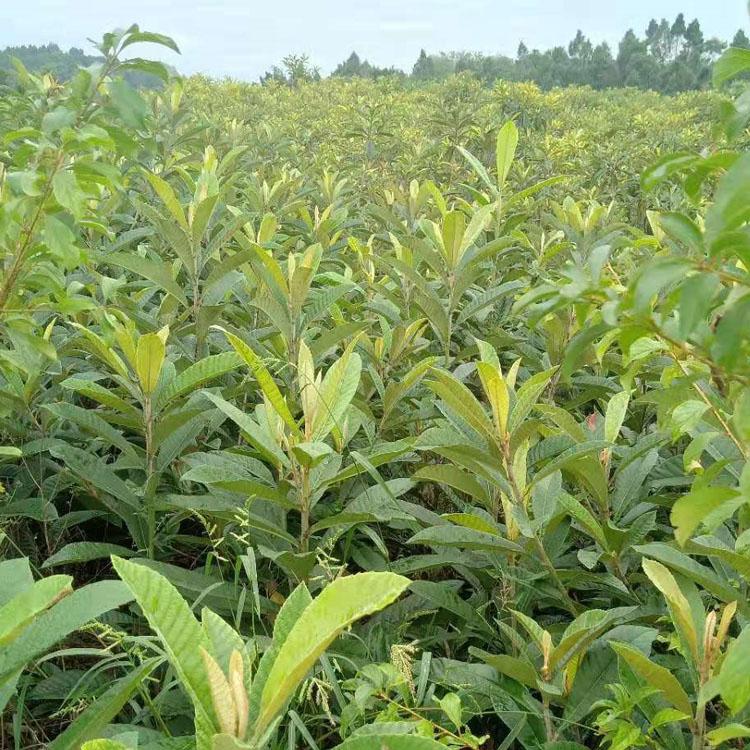 枇杷树,大五星枇杷果苗,石柱大五星枇杷苗栽培技术