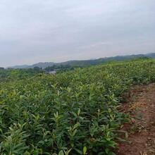 云阳枇杷种苗批发,云阳枇杷种苗品种介绍图片