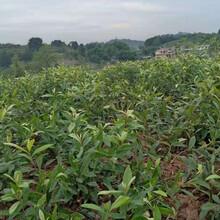 贺州大五星枇杷树苗育苗技术,贺州大五星枇杷树苗准确及时发货图片