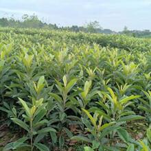 陕西榆林大五星枇杷树苗,枇杷种苗批发及报价图片
