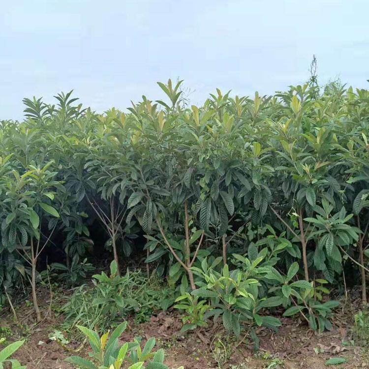 贺州枇杷树苗生产厂家,贺州枇杷树苗供应