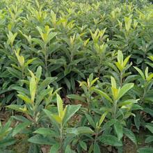 黃石枇杷種苗,黃石枇杷種苗新品種價格圖片