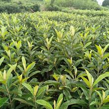 永川枇杷树苗,永川枇杷树苗苗圃基地图片