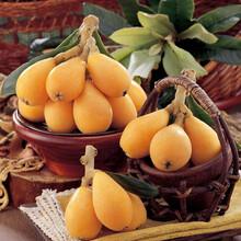 浙江枇杷种苗3公分粗价格,浙江枇杷种苗收益好图片