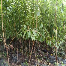 武隆青脆李树苗3年生青脆李树苗种植技术图片