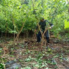 一公分凤凰李树苗,柳州凤凰李树苗基地起苗图片