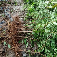 一年凤凰李苗,广西凤凰李苗适合种植地区图片