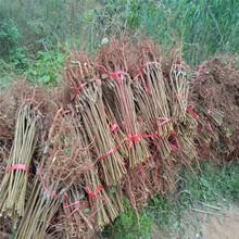 巴中晚熟脆红李苗-巴中晚熟脆红李苗品种介绍图片