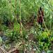 山東脆紅李苗-1-3公分脆紅李苗新品種價格