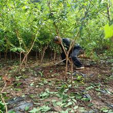 柳州脆红李子树苗-柳州脆红李子树苗合理施肥图片