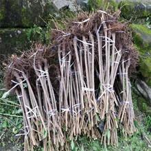 北碚脆红李子树苗冬季修枝。北碚脆红李子树苗2019年价格图片