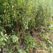 四川脆红李苗-2厘米脆红李苗价格