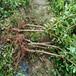 脆紅李樹,晚熟脆紅李子苗,安徽脆紅李子樹苗生產基地