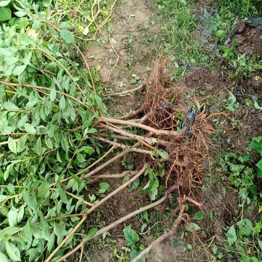 毕节脆红李子树苗栽培技术。毕节脆红李子树苗当年价格