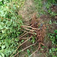 十堰晚熟脆红李苗-一年晚熟脆红李苗修枝技术图片