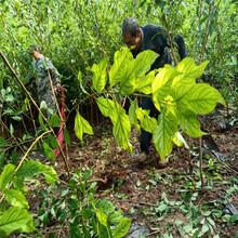 临沧五月脆李子树苗栽种时间,临沧五月脆李子树苗供应商图片