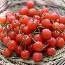 贵州小樱桃树苗、贵州小樱桃树苗甜度高无苦味图片