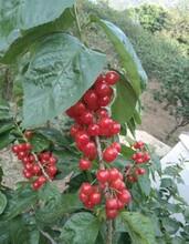 桂林中国樱桃树苗、桂林中国樱桃树苗零售价格图片
