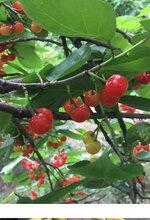 桂林甜樱桃树苗、桂林甜樱桃树苗甜度高无苦味图片