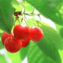 巴中中国樱桃树苗、巴中中国樱桃树苗产量高图片