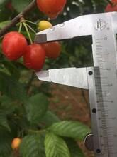 梅州本地樱桃树苗、梅州本地樱桃树苗批发报价图片