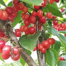 资阳甜樱桃树苗图片