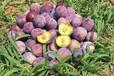 常德安鄉紅脆李子樹苗出售單價_常德安鄉紅脆李子樹苗一株多少錢