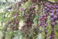 荊州石首市紅脆李子樹苗種植時間_荊州石首市紅脆李子樹苗哪里有基地