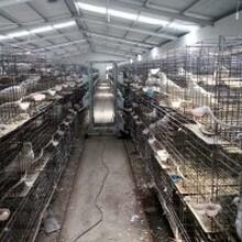 哪里有肉鸽养殖场种鸽多少钱一对图片