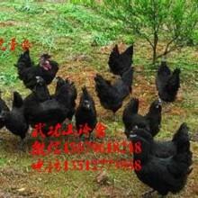 潜江五黑一绿蛋鸡苗绿壳率