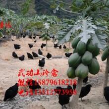 东至县纯种绿壳蛋鸡苗哪里可以买到