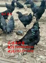 惠济五黑一绿蛋鸡苗菜市场批发价格