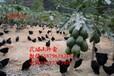 江华纯种绿壳蛋鸡苗绿壳率