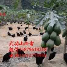 华龙五黑一绿蛋鸡苗菜市场批发价格