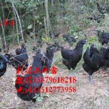 新安县五黑一绿蛋鸡苗菜市场批发价格