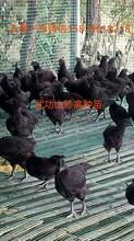 芦溪县纯种绿壳蛋鸡苗菜市场批发价格