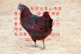 开封县纯种绿壳蛋鸡苗菜市场批发价格