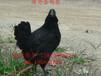 襄州五黑一绿蛋鸡苗哪里可以买到