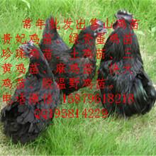 常山县五黑一绿蛋鸡苗菜市场批发价格