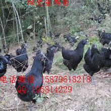 吉安县五黑一绿蛋鸡苗菜市场批发价格