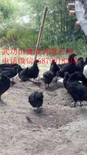 余杭纯种绿壳蛋鸡苗菜市场批发价格