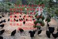 红安县五黑一绿蛋鸡苗菜市场批发价格